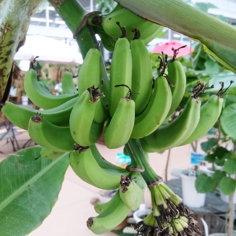 リビングに飾る観葉植物?  『  台湾バナナ  』