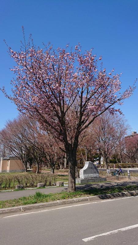 札幌にも桜の便り